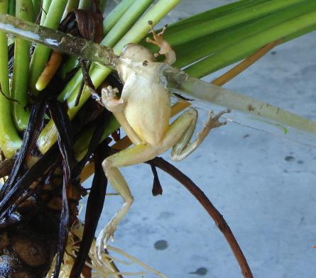 frogsicle.jpg