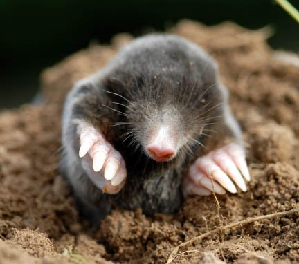Mole Rodent Pest