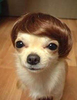 chihuahua toupee combover