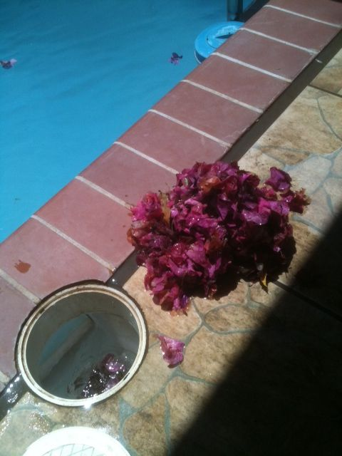 Bougainvillea flowers in pool skimmer