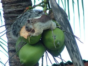 squirreleatingcoconut